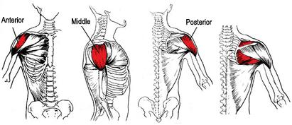 Shoulder-Muscle-Anatomy