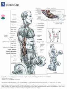 biceps curl anatomy