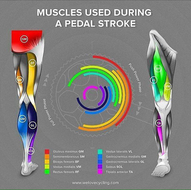 Muscles Used During Cycling – Robinson's Strength and ...
